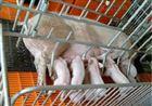 称猪地磅秤价格,称猪电子地磅多少钱一台